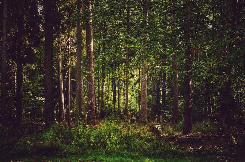 Dense forest with conifer trees stock photo