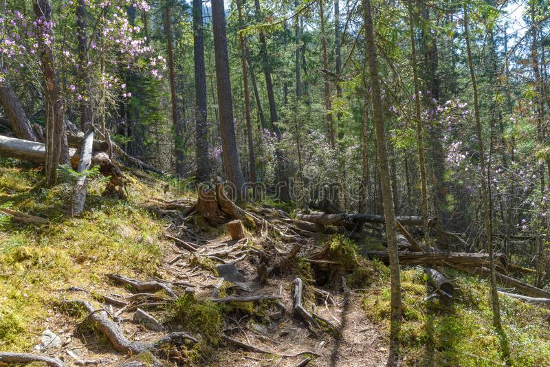 Dense forest, old trees covered with moss. Roots and stumps on the path stock image