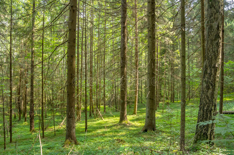 Dense Forest. Summer landscape. In the dense old spruce forest stock photography