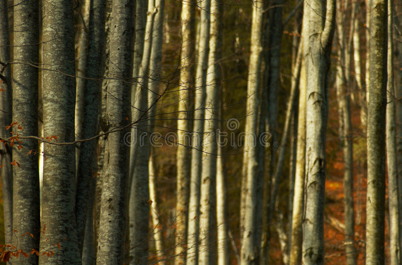 Dense Forest Trees. Dense trees in a forest in autumn stock images