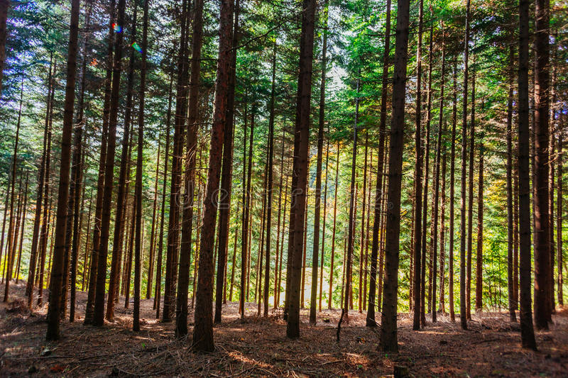 Dense forest trees. Lined in vertical lines pattern stock photography