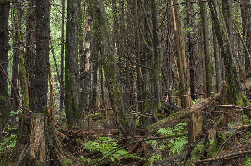 Dense forest. Dense wooded pine rain forest with fallen and cut timber and ferns on ground in southeast Alaska royalty free stock images