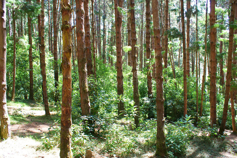 Dense green forest. Dense green pine forest of South India with sun rays scattered throughout royalty free stock photo