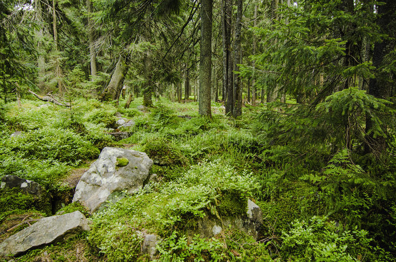 Dense green forest. The dense green forest with mossy stones, natural background royalty free stock image