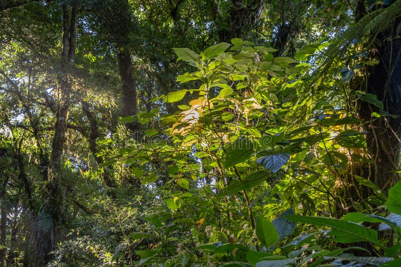 Dense jungle folige with sunrays breaking through. In Mistico Park Costa Rica stock photos