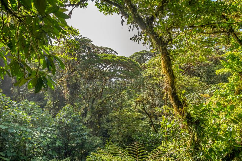 Dense jungle vegetation as seen from a canopy bridge. In Mistico Park Costa Rica royalty free stock images