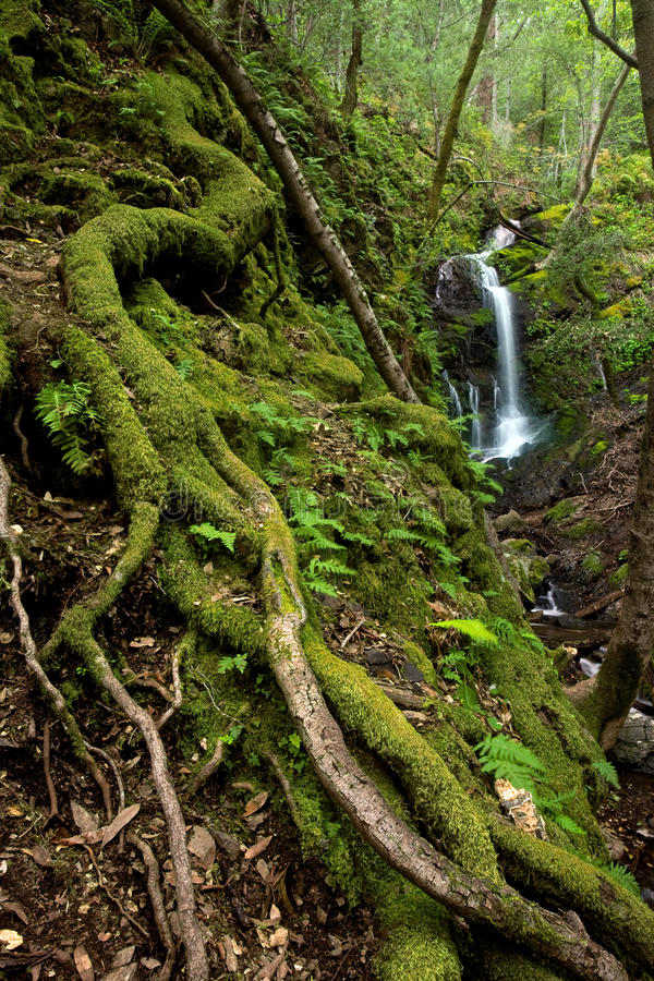 Dense Lush Forest and Waterfall. A lush rain forest waterfall with large roots and ferns, located in Uvas Canyon, California stock photos