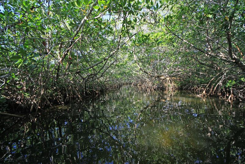 Mangrove tunnel in Card Sound, Florida. stock photos