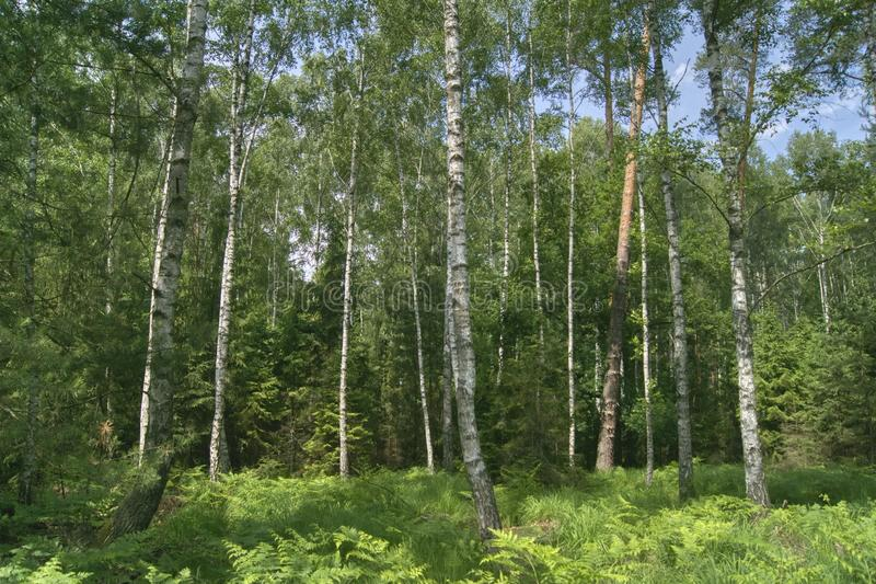 Dense mixed forest. On a sunny day, spruce and pine birches with thick forest undergrowth royalty free stock photo