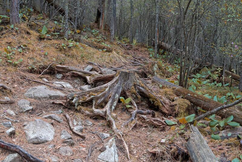 Dense mountain forest, roots and stumps stick out of the ground stock photography