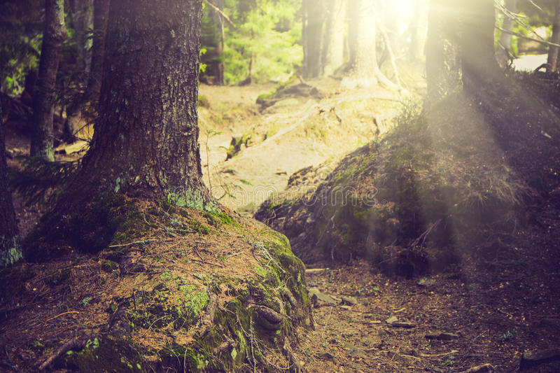 Dense mountain forest and trees with moss in magic light. Filtered image:cross processed vintage effect stock photos