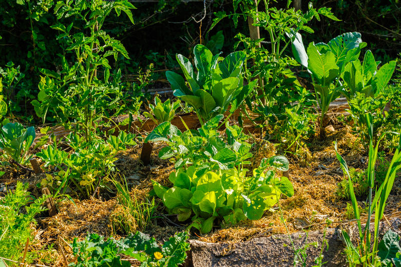 Dense organic vegetable garden stock photos