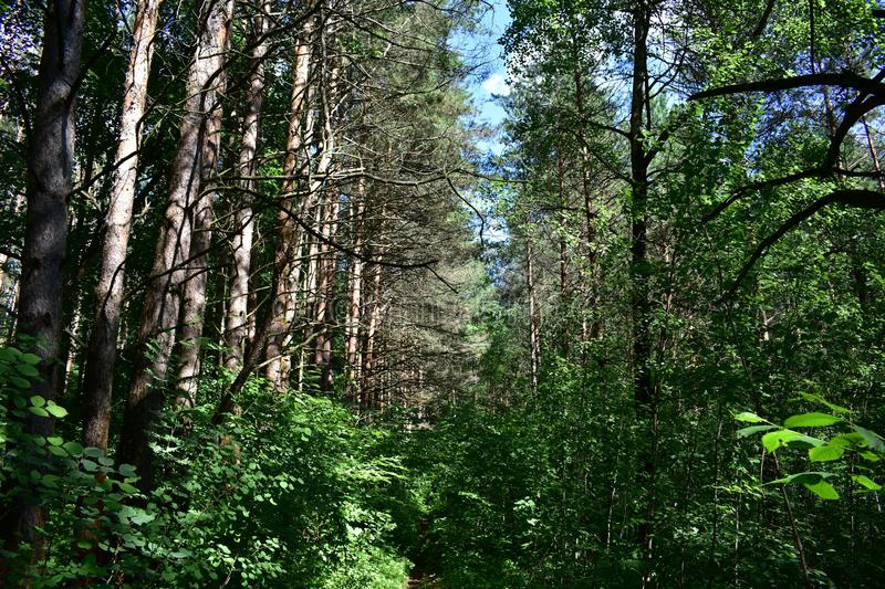 The dense shady forest bent over the path. The forest is fresh and pleasant. On a Sunny day, look at the sky through the branches royalty free stock image