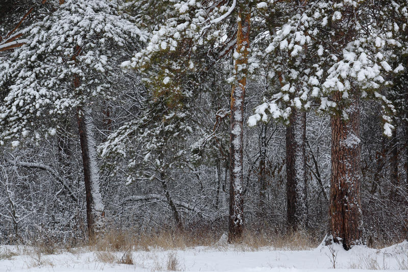 Dense snowy forest. Winter pine forest in the Ural stock images