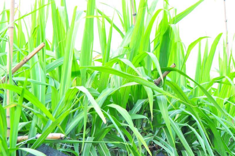 Dense sugar cane leaves. Green sugarcane leaves background sky stock photography
