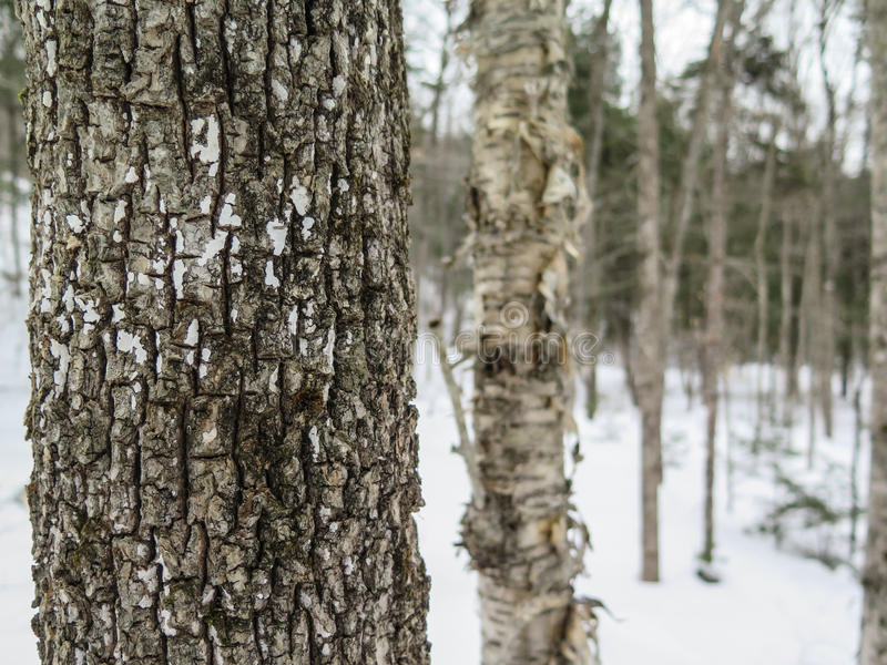 Dense Trees in New England Forest in Winter stock images