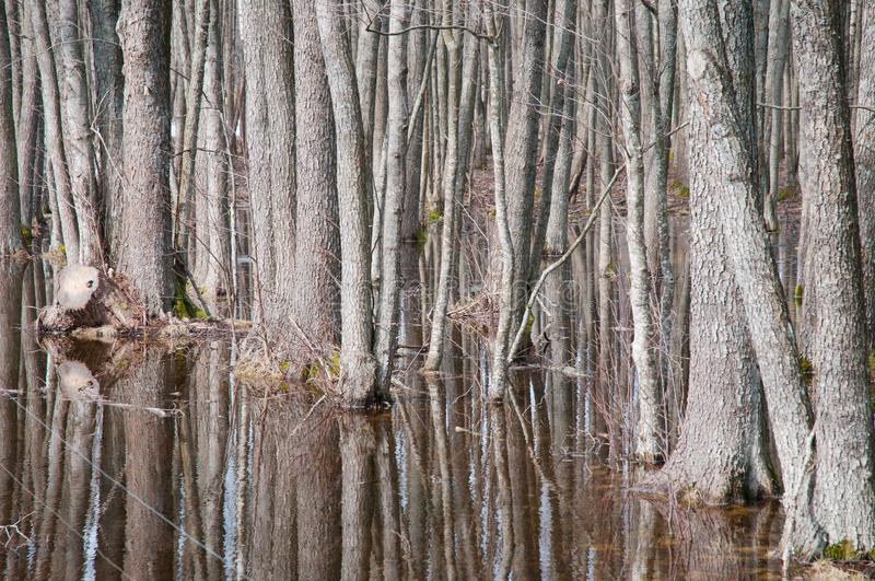 Dense trees in a swamp royalty free stock image