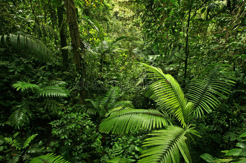 Dense Tropical Rain Forest. A scene looking straight into a dense tropical rain forest, taken in Costa Rica royalty free stock photo