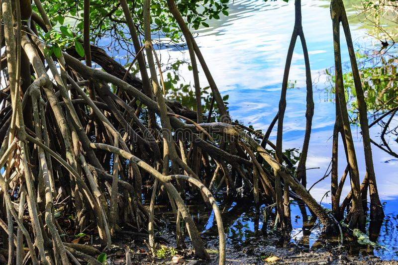 Dense and typical vegetation of the tropical mangroves royalty free stock photography