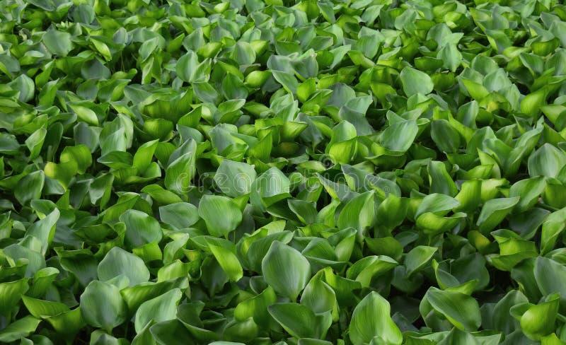 Dense water hyacinth royalty free stock photography