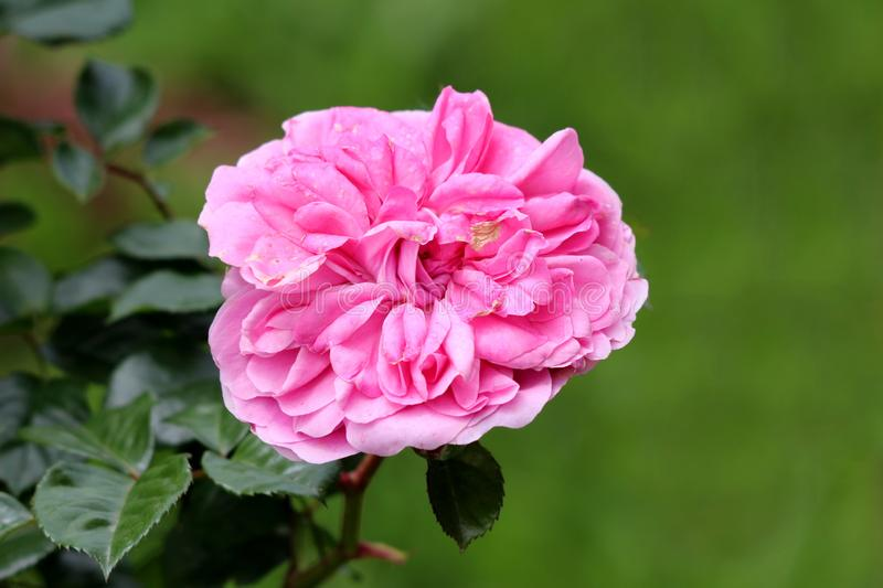 Densely layered fully open blooming pink rose surrounded with dark green leaves in local urban garden. On warm sunny spring day royalty free stock photos