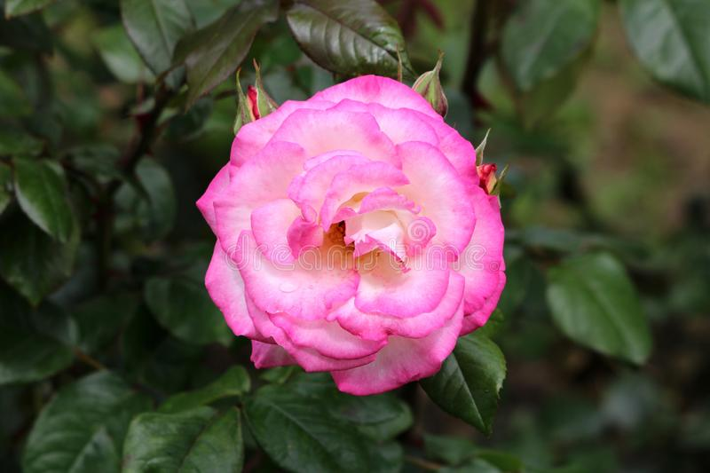 Densely layered fully open blooming pink and white bicolor rose surrounded with closed rose buds and dark green leaves in local. Urban garden on warm sunny stock photos