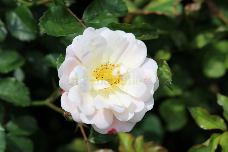 Densely layered rose with fully open blooming pure white with light pink petals and yellow center growing in local garden. Surrounded with dark green leaves on royalty free stock photos