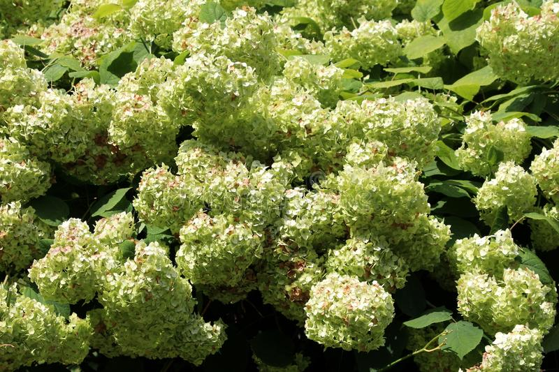 Densely planted bunches of light green flowers of Hydrangea or Hortensia garden shrub fully open blooming surrounded with thick. Densely planted bunches of light stock photography