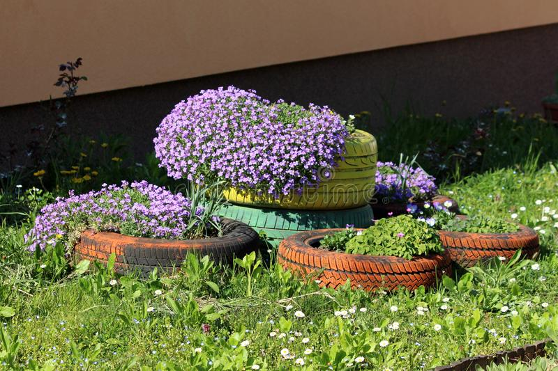 Densely planted Creeping phlox or Phlox subulata evergreen perennial flowering plant planted in colorful old tyres used as garden. Densely planted Creeping phlox royalty free stock images