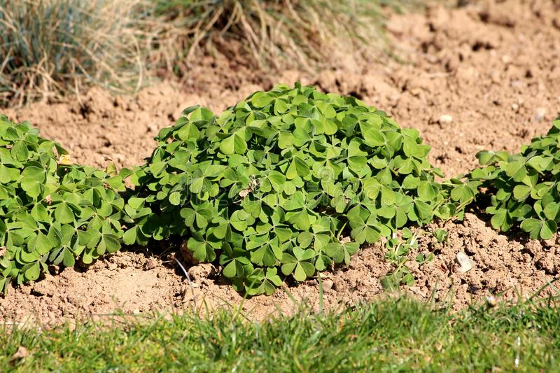 Densely planted dome shaped Clover or Trefoil flowering plants full of beautiful green leaves planted in a row surrounded with dry. Soil and grass in local stock photography