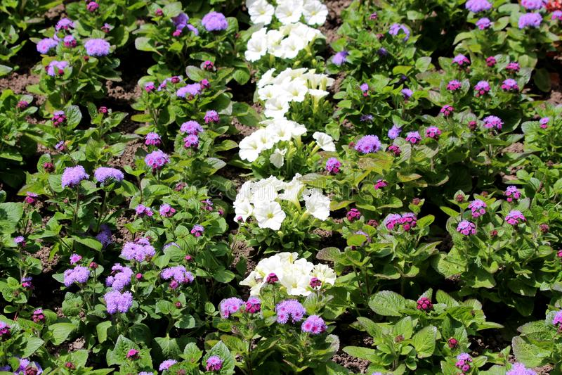 Densely planted Floss flower or Ageratum houstonianum annual plants with fuzzy tufted violet flowers in rounded dense flower heads. Densely planted Floss flower royalty free stock photos