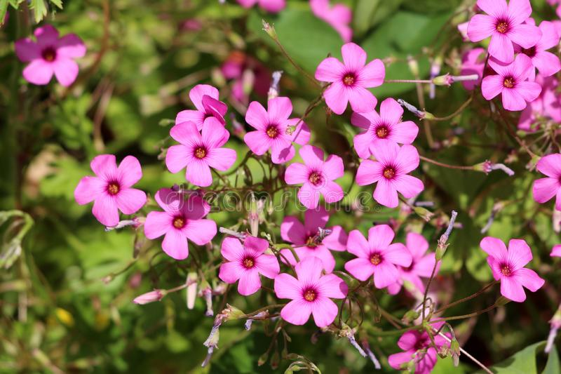 Densely planted Good luck plant or Oxalis tetraphylla bulbous perennial plants with fully open blooming pink flowers surrounded. Densely planted Good luck plant stock photo