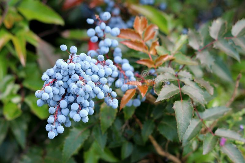 Densely planted Oregon grape or Mahonia aquifolium evergreen shrub flowering plant with dense cluster of dusty blue berries royalty free stock photos