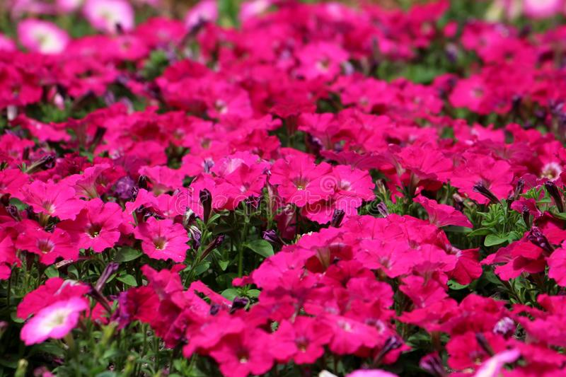Densely planted red Petunia flowers growing in local public park surrounded with light green leaves background texture wallpaper. On warm sunny spring day royalty free stock photography