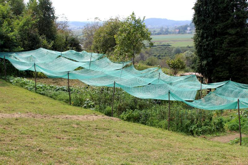 Densely planted tomato and other plants in local urban garden covered with green protective net surrounded with grass and trees. On warm sunny summer day stock photo