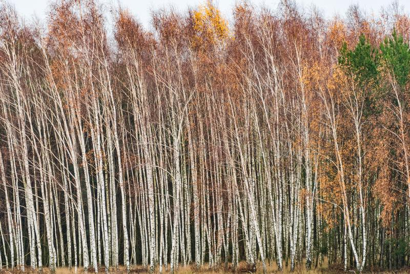 Densely planted white birch trunks create a kind of fence into the forest. A contrast scene: white, black and various colors.. stock images