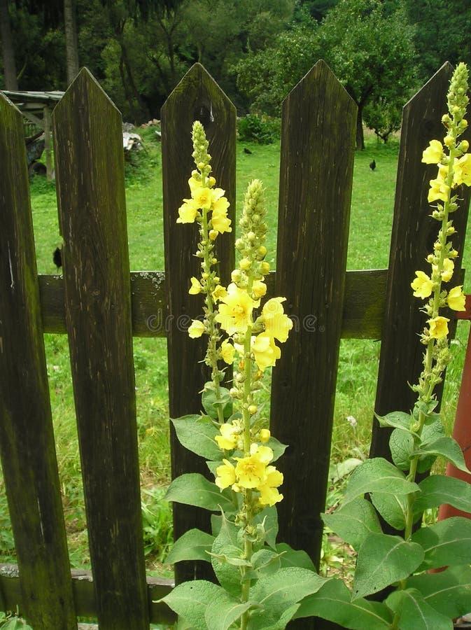 Densiflorum de Verbascum photo stock