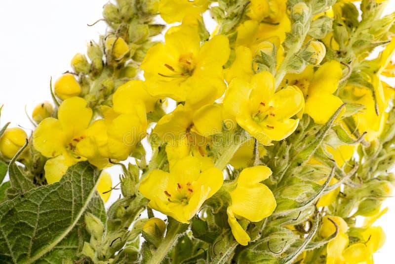 Densiflorum do Verbascum - flor do mullein imagens de stock royalty free