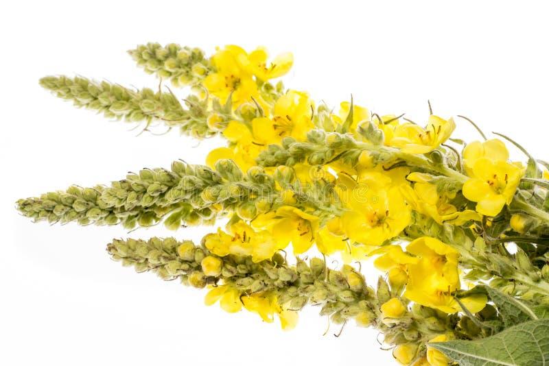 Densiflorum Verbascum - цветок mullein стоковые изображения