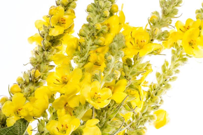 Densiflorum Verbascum - цветок mullein стоковая фотография rf