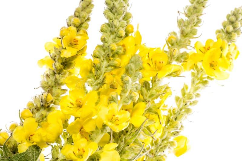 Densiflorum Verbascum - цветок mullein стоковая фотография
