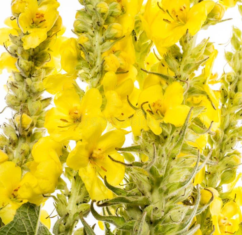 Densiflorum Verbascum - mullein λουλούδι στοκ εικόνα με δικαίωμα ελεύθερης χρήσης