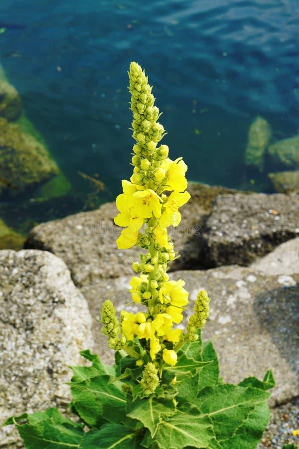 Densiflorum Verbascum, mullein denseflower, denseflowered mullein стоковое изображение