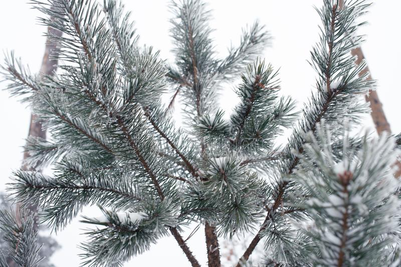 dentäckte trädfilialen på parkerar, tonned förkylning Vinterconceprt arkivbilder
