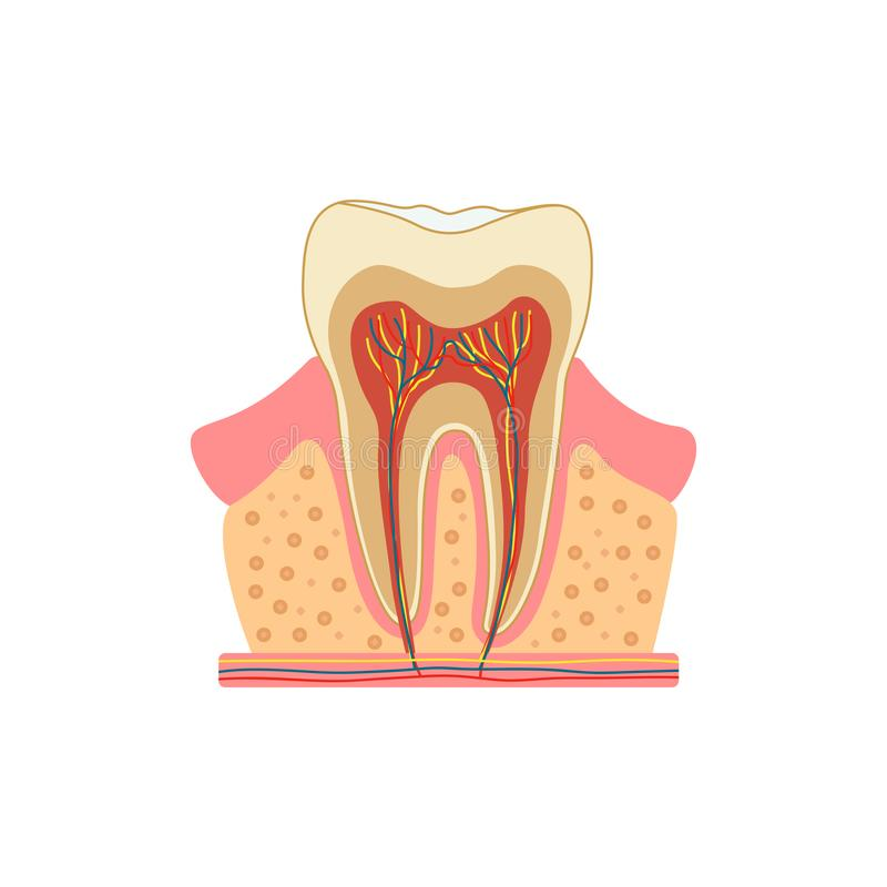 Dent dans une coupe Diagramme médical de la structure de la section transversale d'intérieur de la dent Concept infographic de ve illustration libre de droits