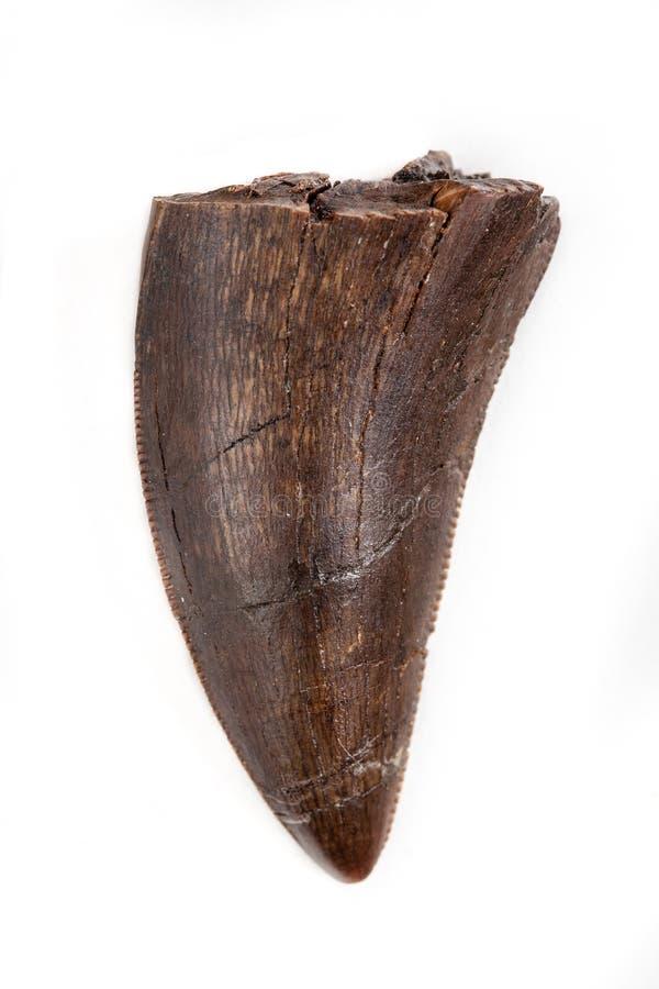 Dent fossilisée de tyrannosaure, Daspletosaurus probable, sur le Ba blanc photos libres de droits