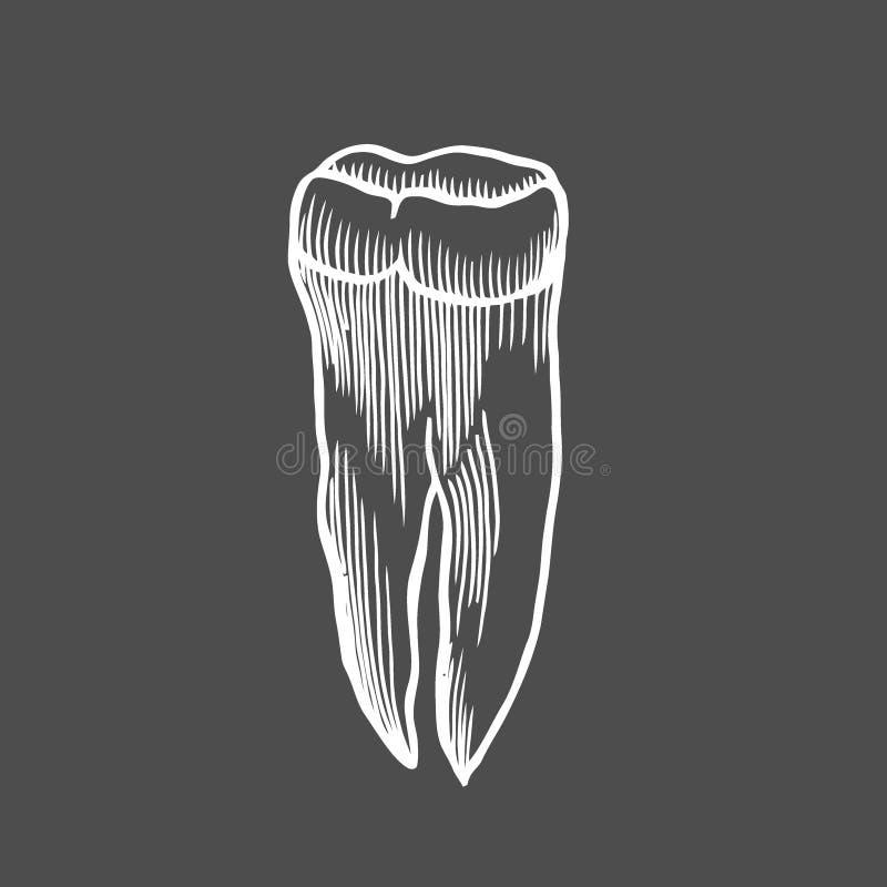 Dent humaine d'isolement illustration de vecteur