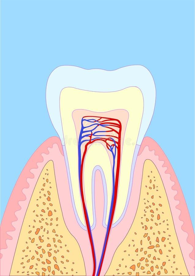 Dent molaire illustration libre de droits