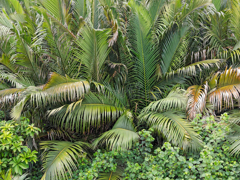 Dent palm tree background. In rain forest area stock photos