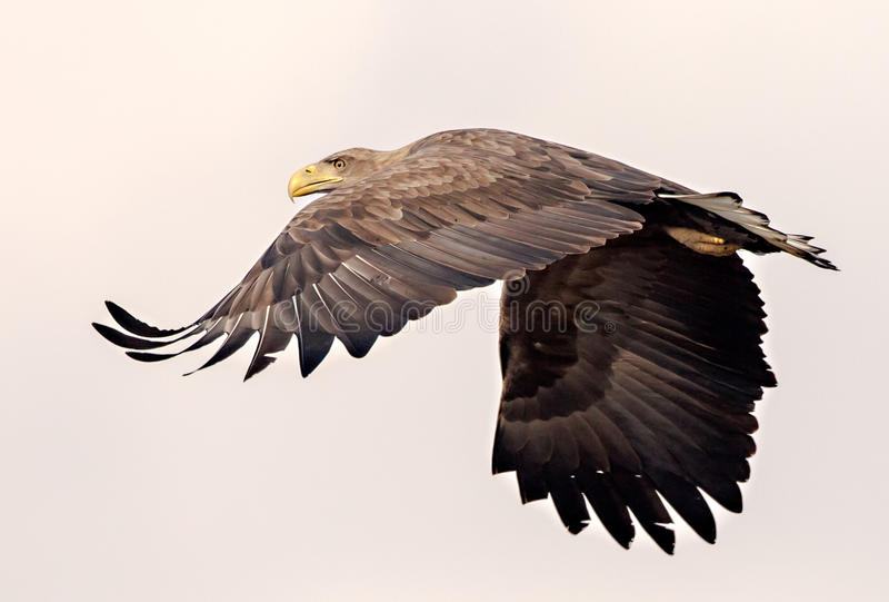 dentailed örnen går bort royaltyfri foto